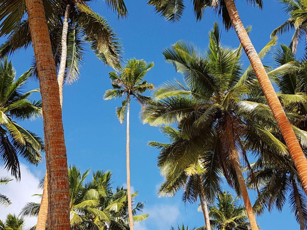 Labasa - palmiers